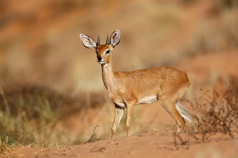 Antílope masculino del steenbok - desierto de Kalahari fotografía de archivo libre de regalías