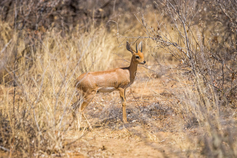 Antílope masculino do steenbok que está no arbusto africano fotografia de stock royalty free