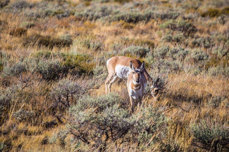 Antílope nos animais selvagens imagem de stock royalty free