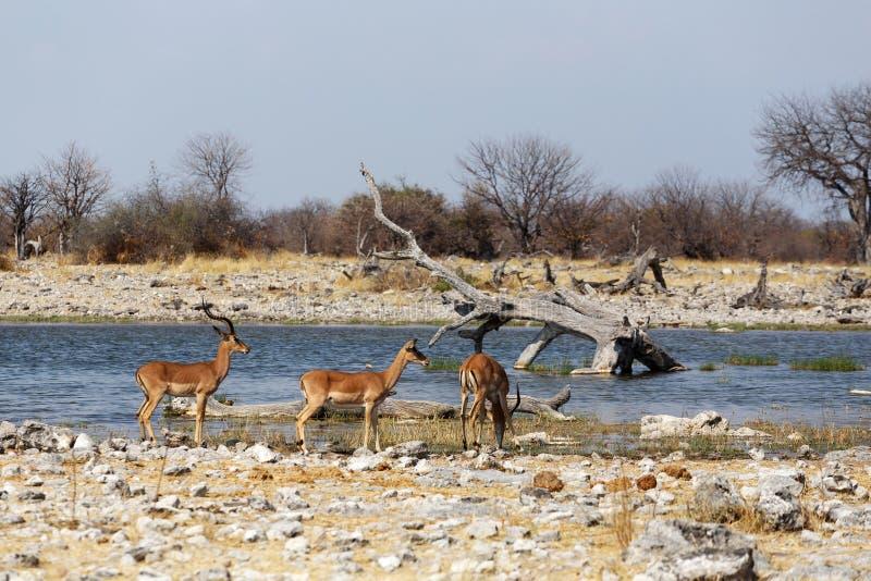 Antílope ouvido da impala imagens de stock