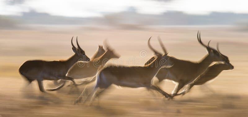 Antílope que corre na alta velocidade Tiro muito dinâmico botswana Delta de Okavango fotografia de stock