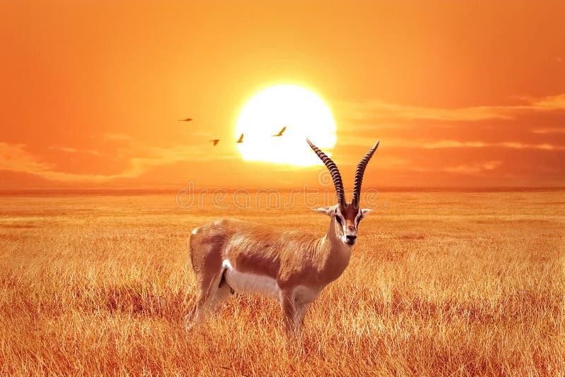 Ant?lope s? africano no por do sol bonito com os p?ssaros no parque nacional de Serengeti tanz?nia Natureza selvagem de ?frica imagem de stock royalty free