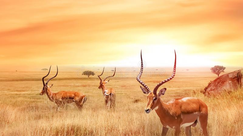 Antílope só no savana africano contra um por do sol bonito Paisagem africana imagem de stock