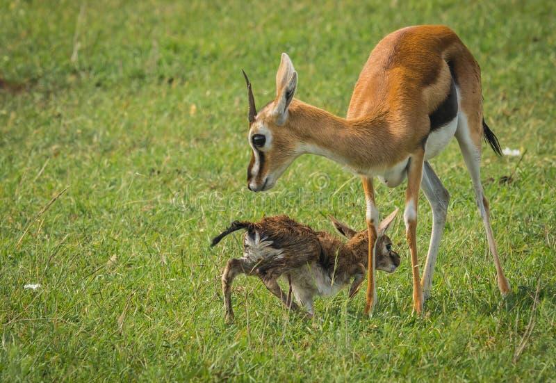 Antílope Thompson e seu bebê recém-nascido no Masai Mara, Kenya fotos de stock royalty free