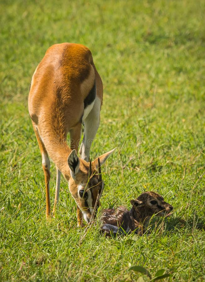 Antílope Thompson e seu bebê recém-nascido no Masai Mara, Kenya imagens de stock
