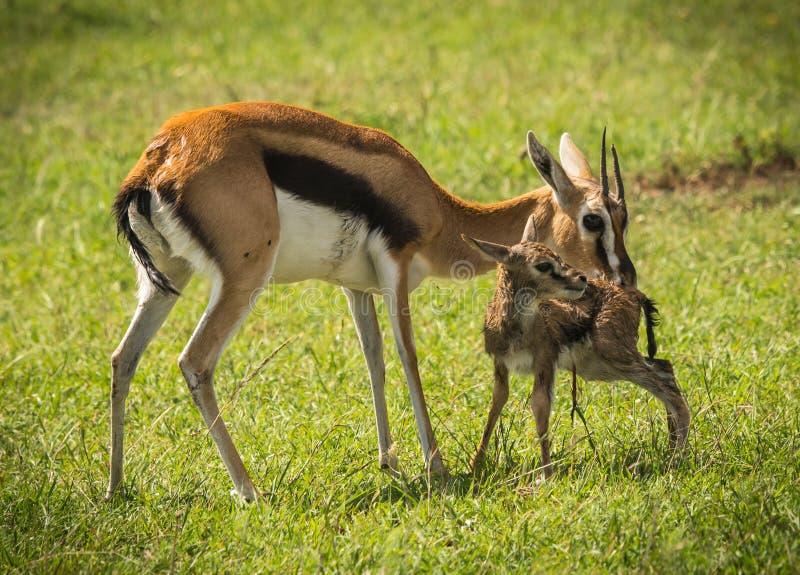 Antílope Thompson e seu bebê recém-nascido no Masai Mara, Kenya fotografia de stock