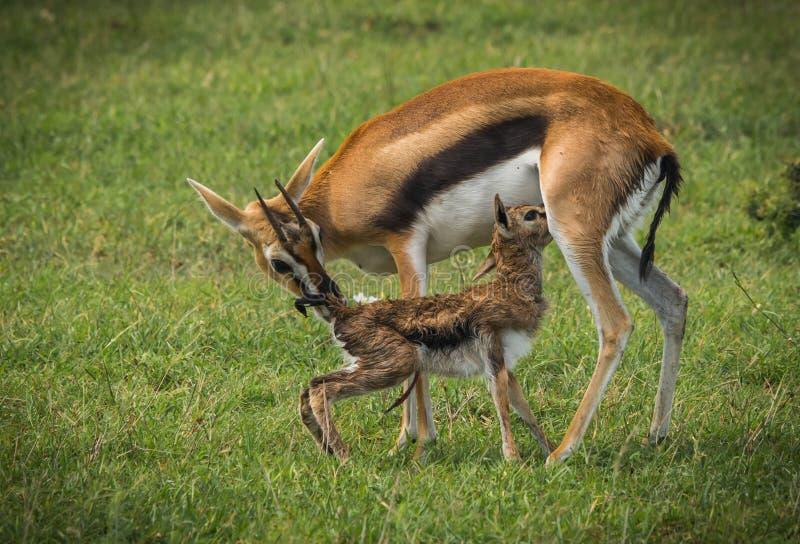 Antílope Thompson e seu bebê recém-nascido no Masai Mara, Kenya imagem de stock