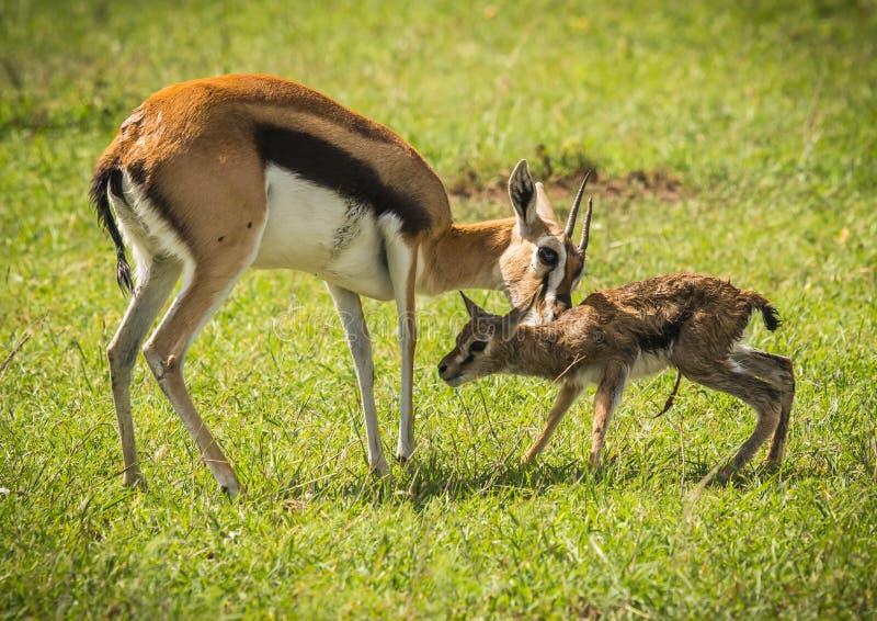 Antílope Thompson e seu bebê recém-nascido no Masai Mara, Kenya imagem de stock royalty free
