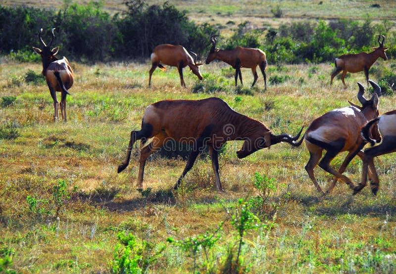 Antílope vermelho de África Hartebeest que ataca outro fotografia de stock royalty free