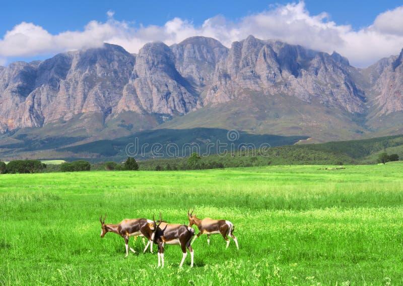 Antílopes, césped, montaña imagen de archivo
