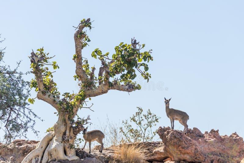 Antílopes de Dik-Dik Madoqua no arbusto no parque nacional de Kruger, destino do curso em África do Sul fotografia de stock
