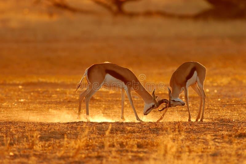 Antílopes de la gacela de la lucha imágenes de archivo libres de regalías