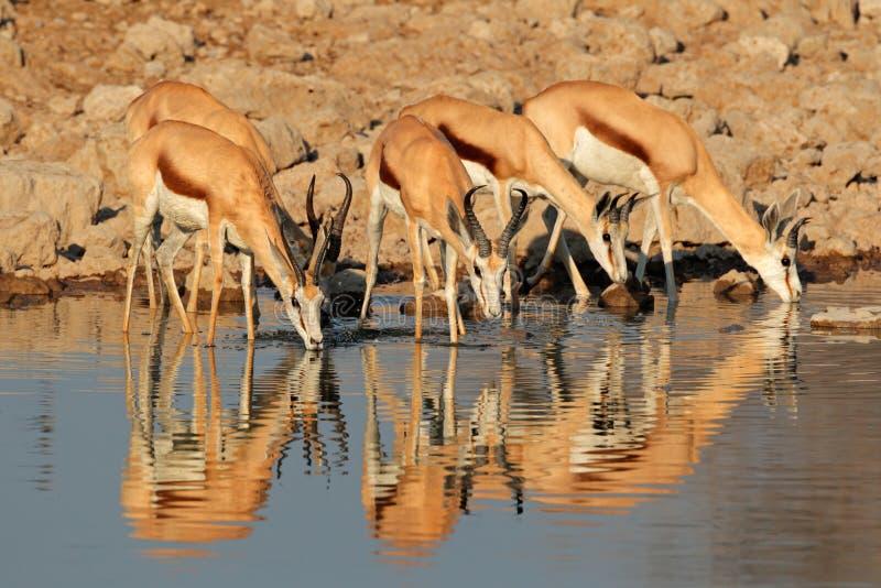 Antílopes de la gacela en el waterhole fotos de archivo libres de regalías