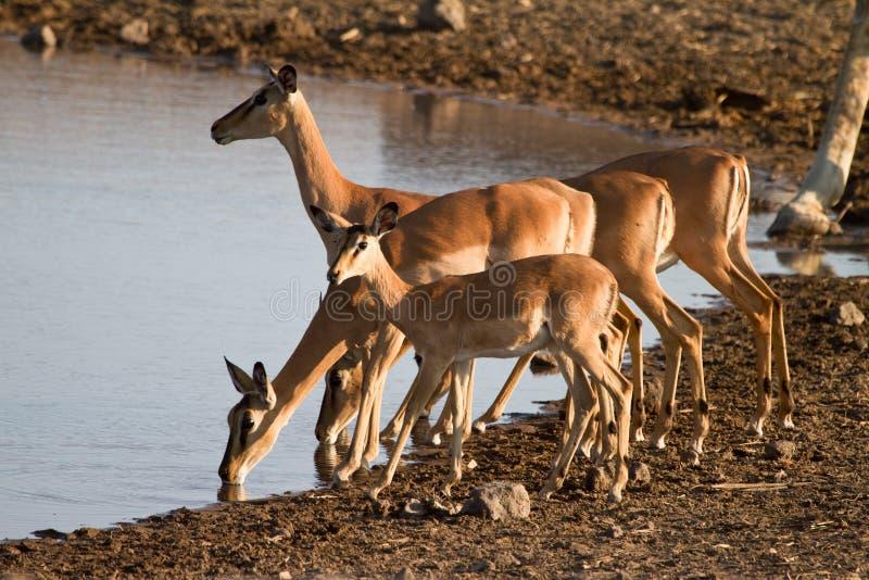 Antílopes del impala fotografía de archivo