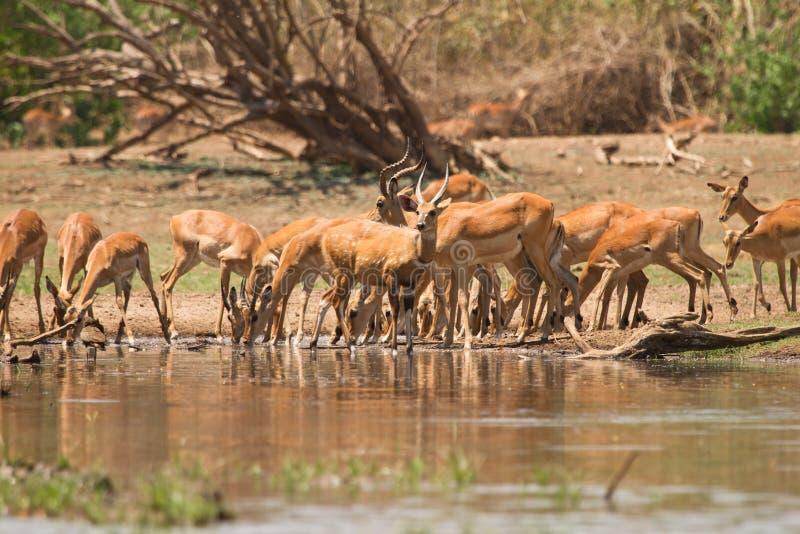 Antílopes del impala foto de archivo libre de regalías