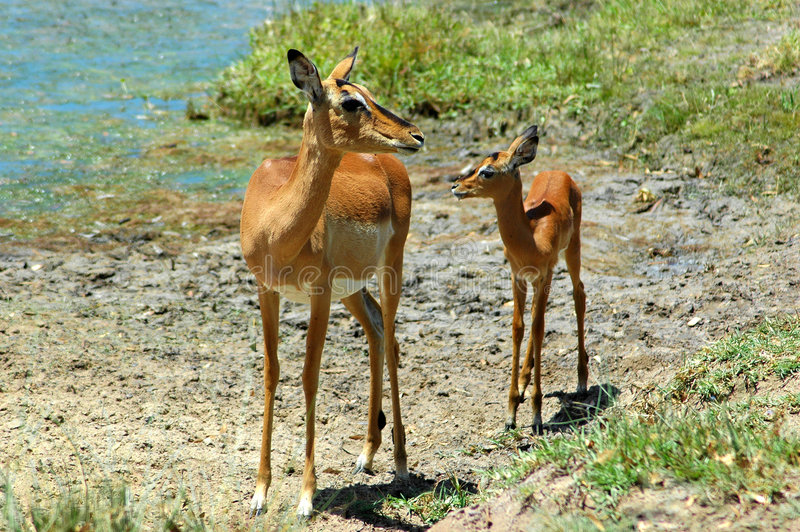 Antílopes do Impala imagem de stock royalty free
