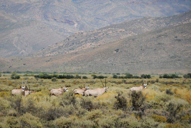 Antílopes no sul - arbusto africano do Gemsbok imagem de stock royalty free