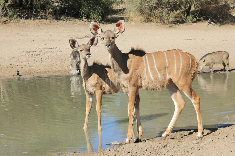 Antílopes y un facoquero - fauna africana del becerro de Kudu - inocencia foto de archivo