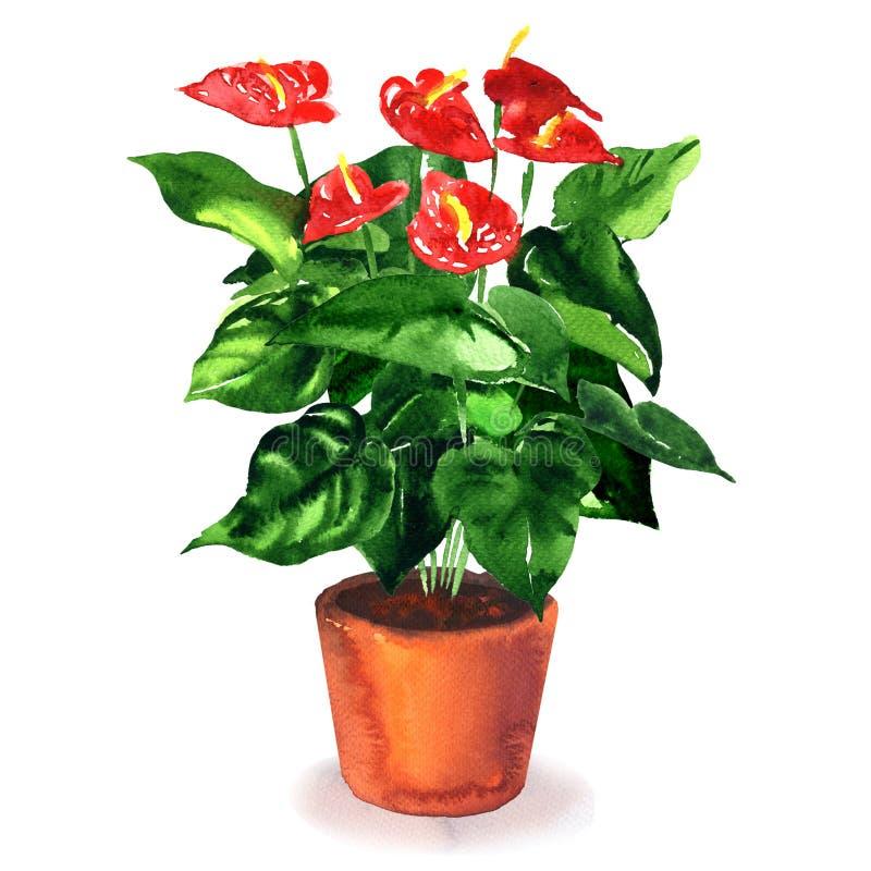 Antúrio, flor de flamingo, planta de florescência com as flores vermelhas no vaso de flores marrom, isolado, aquarela tirada mão ilustração do vetor