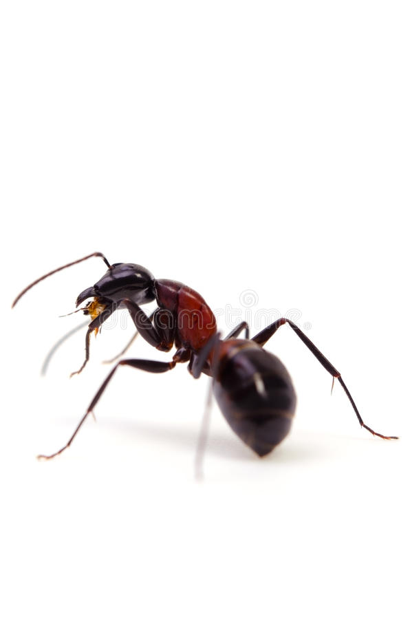 Download Ant stock photo. Image of prepared, noxious, hexapod - 25677388