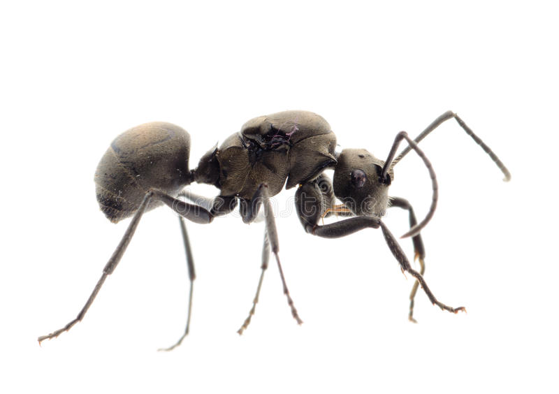 Ant royalty free stock photo