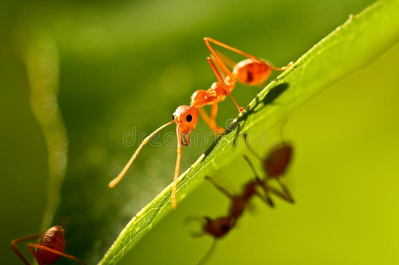 Download Ant Royalty Free Stock Images - Image: 26310579