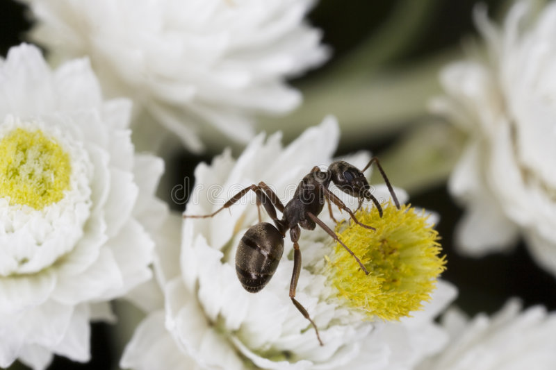 Download Ant stock photo. Image of flower, tiny, nature, stamen - 2838458