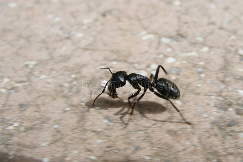 Download Ant stock photo. Image of race, endurance, carry, save - 375984