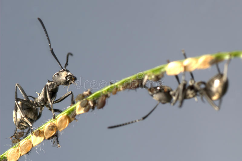 Ant And Aphid Symbiosis Royalty Free Stock Photo