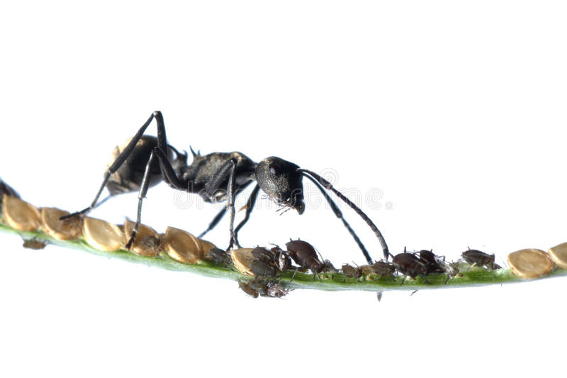 Download Ant and aphid symbiosis stock image. Image of flower - 16919835