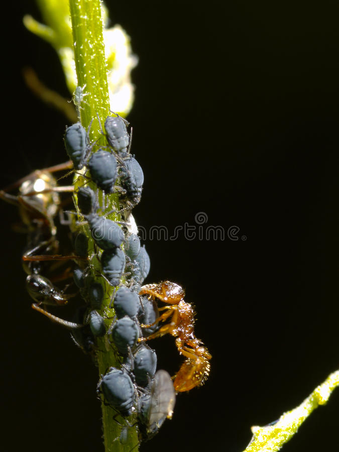 Download Ant With Aphids Royalty Free Stock Photography - Image: 10250737