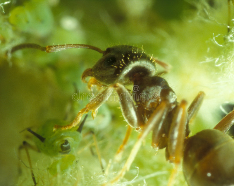 Ant and aphids. Ant watching over its stock of aphids waiting to harvest the honeydew stock image