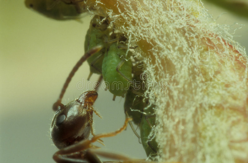 Ant and aphids. Ant watching over its stock of aphids waiting to harvest the honeydew royalty free stock photo