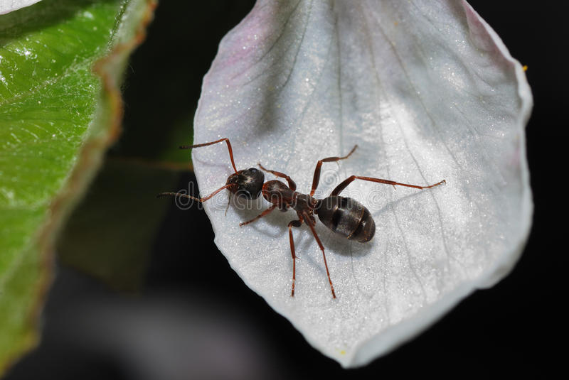 Ant on bloom. Black brown ant is sitting on a white flower stock image