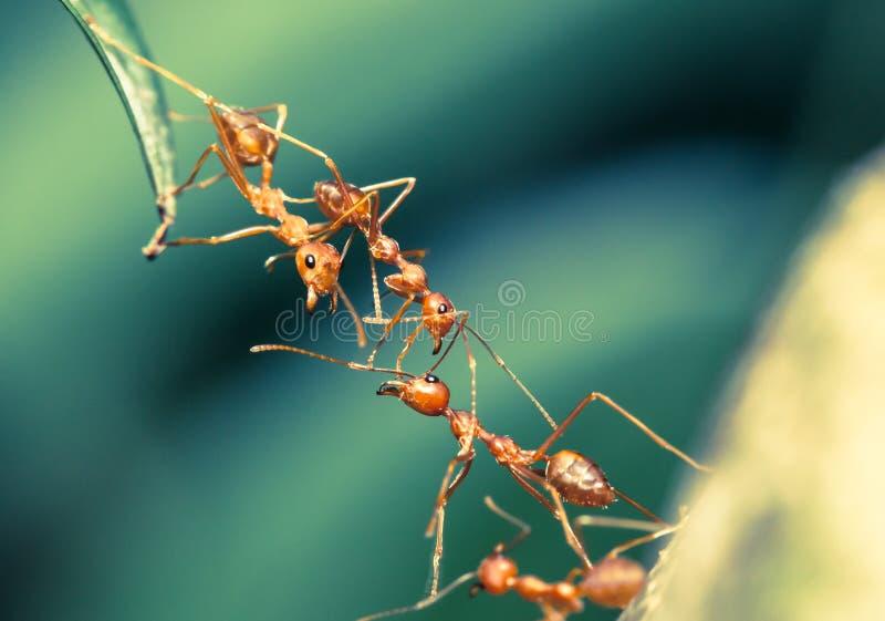 Ant bridge teamwork royalty free stock photography