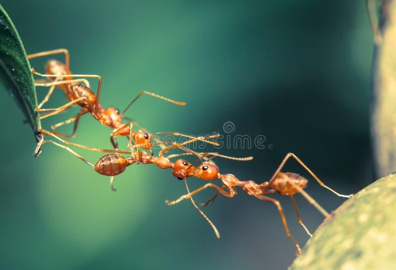 Ant bridge teamwork royalty free stock photo