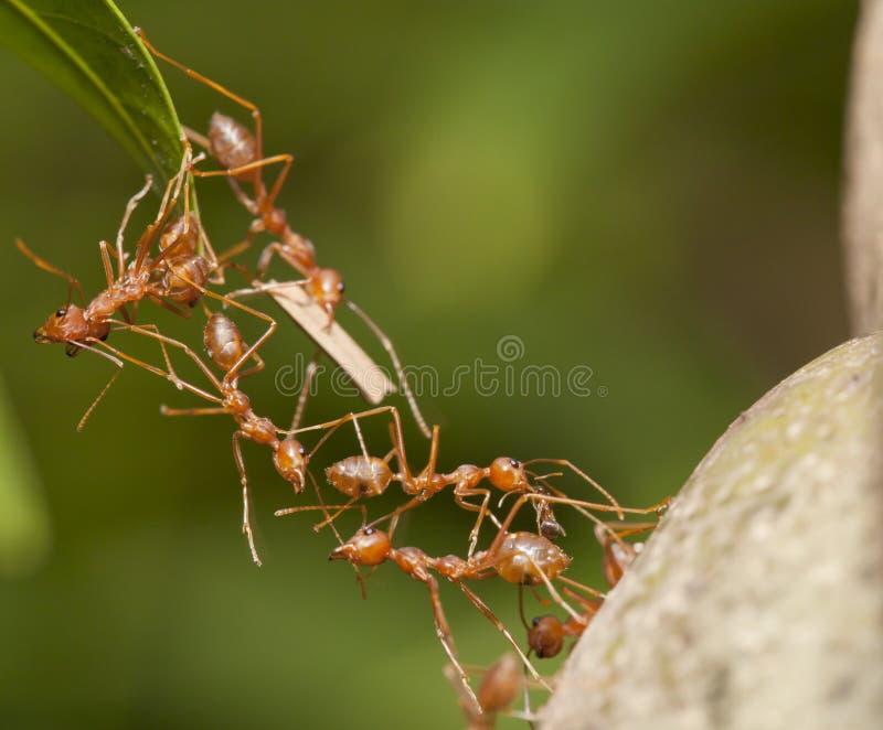 Ant bridge teamwork royalty free stock images