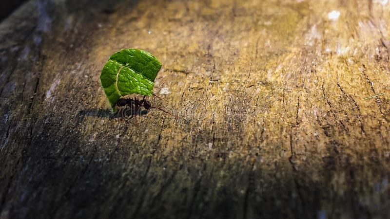 Ant carrying a green leaf under the sunlight on wood. Ant carrying a green leaf on wood under the sunlight stock photos