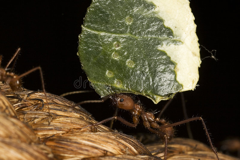 Ant Carrying Leaf Macro. A close-up macro photograph of a leaf-cutter and carrying a leaf back to the nest royalty free stock photography