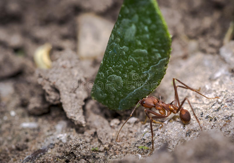 Ant carrying leaf parts to its nest. Ant carrying green leaf parts to its nest royalty free stock photos