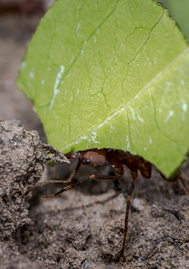 Ant carrying leaf parts to its nest. Ant carrying green leaf parts to its nest royalty free stock image
