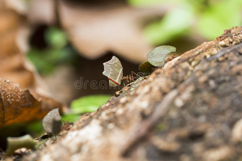 Ant carrying leaves on the ground.  royalty free stock photo