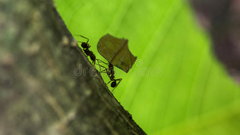 Ant carrying leaves on the tree.  stock image