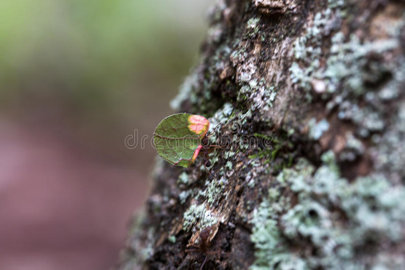 Ant carrying leaves on the tree.  stock photos