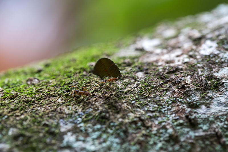 Ant carrying leaves on the tree.  stock photography