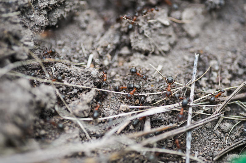 Ant colony. macro photo royalty free stock photo