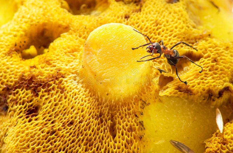 An ant crawling on a mushroom royalty free stock images