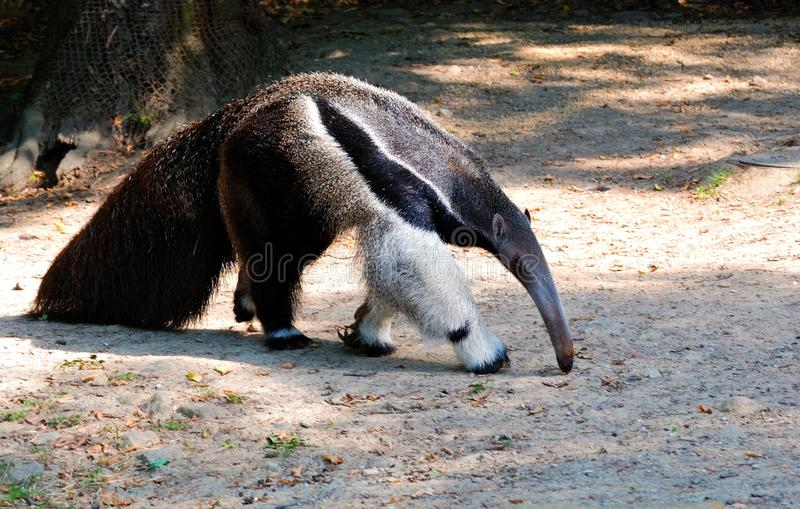 Ant-eater Walking on the Ground. With bowed head royalty free stock photo