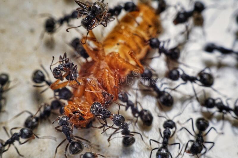 A group of ants are eating prey in groups stock images