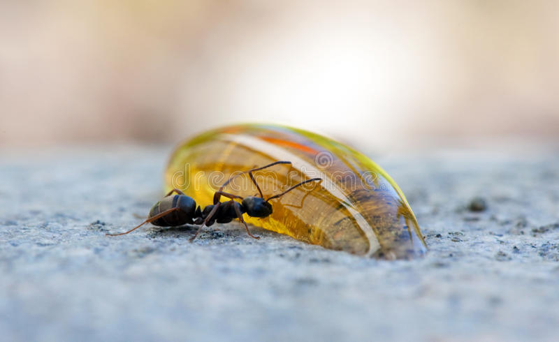 Ant eating honey. All alone royalty free stock image